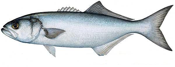 Bluefish for Blue fish florida