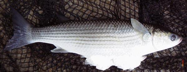 سمكة المرمار تقرير كامل عنها 212.jpg