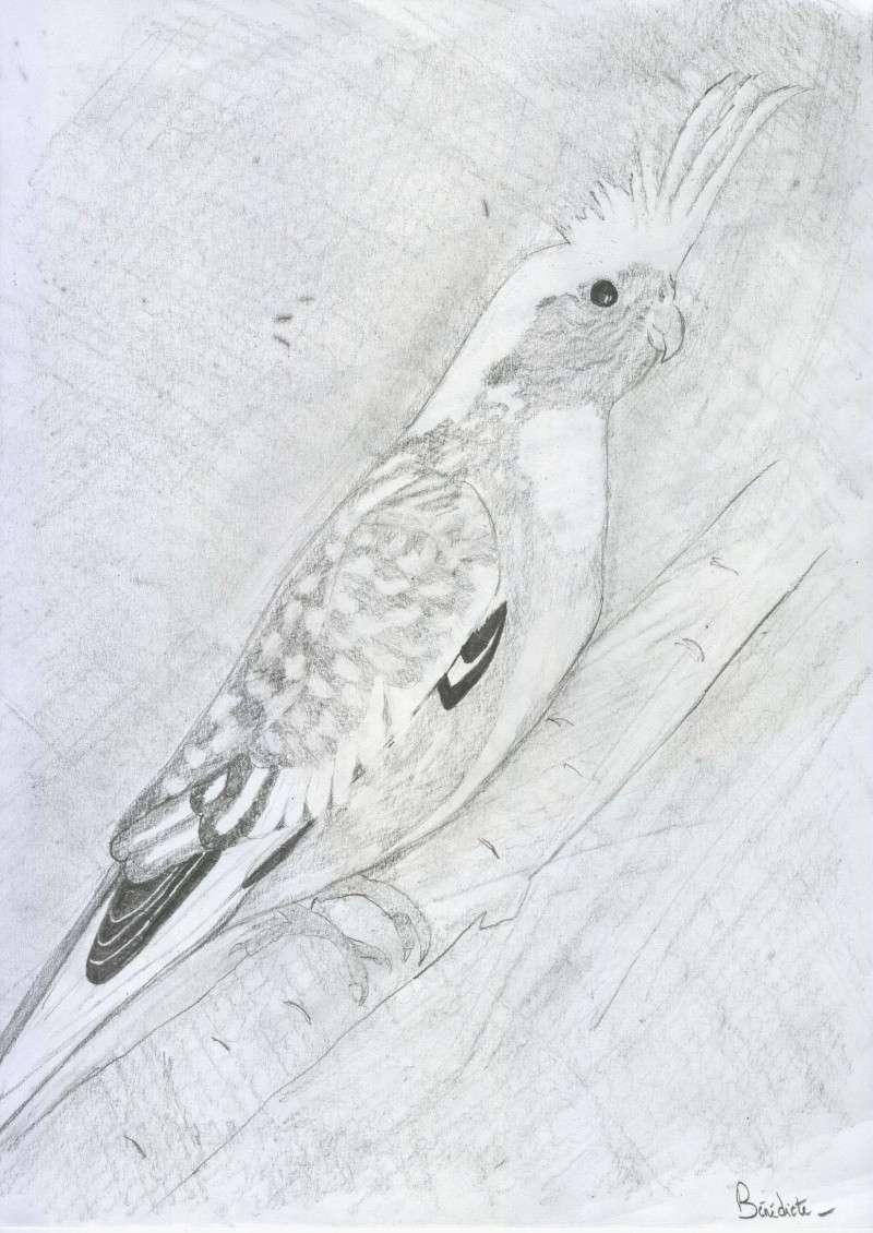 Nos dessins d 39 oiseaux - Dessin calopsitte ...