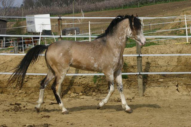 cheval espagnol caractere