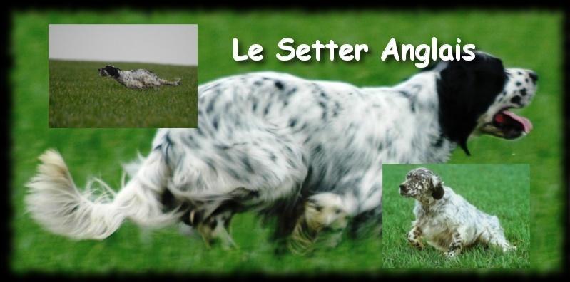 Le Setter Anglais , Fiche chien N°2