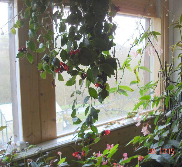 Les fleurs d 39 int rieur pendant l 39 hiver for Plante interieur pendante